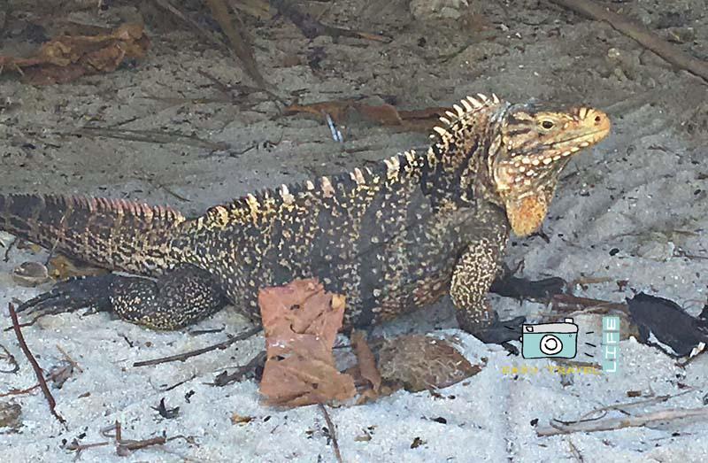 variety of iguana