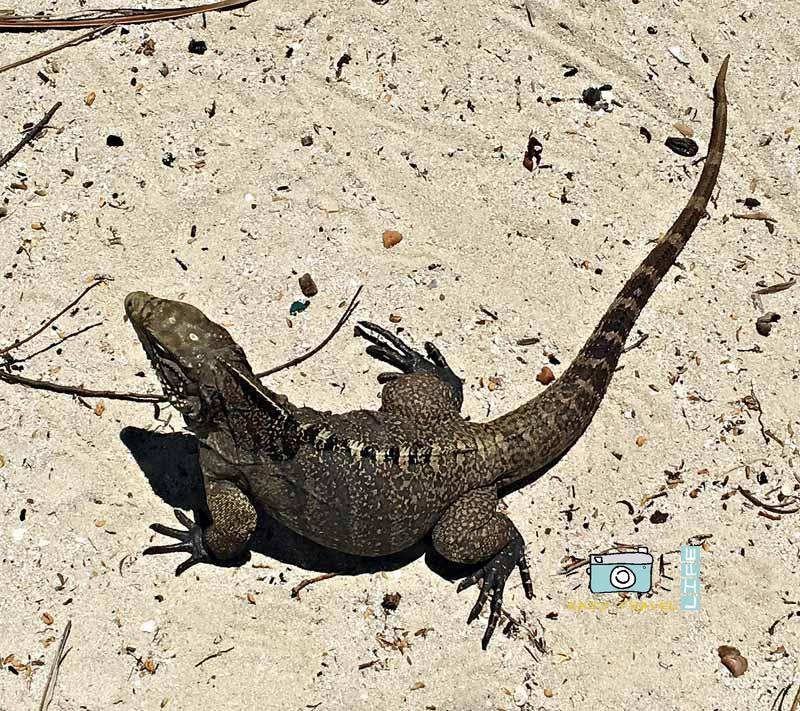 iguana in nature