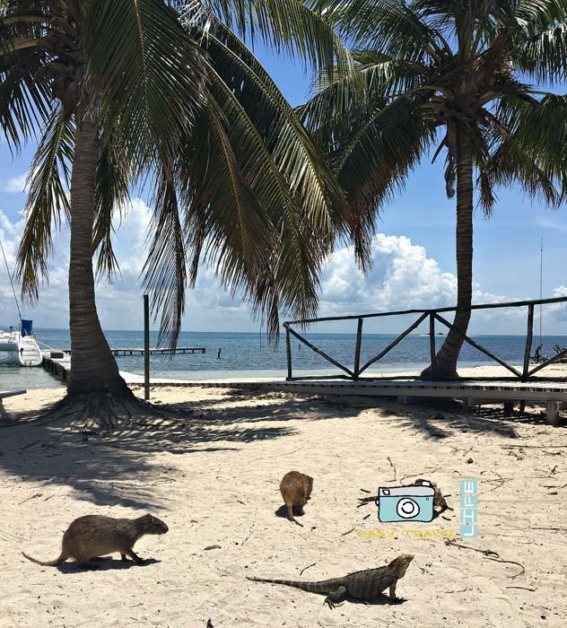 hutya cayo iguana